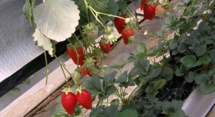 Клубника в теплице круглый год как бизнес выращивание